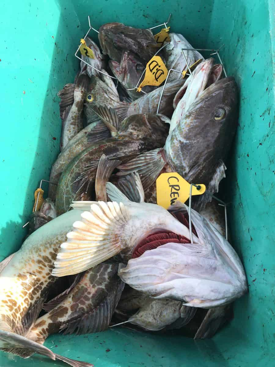 A 28-lingcod limit from the deep reef by Captain Rob Gerlitz of Garibaldi Charters on March 8th.