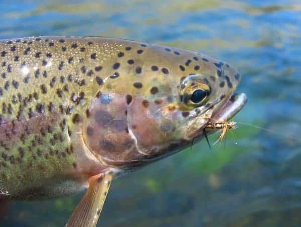Oregon fishing report Eastern Redside
