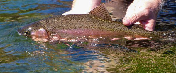Lower Deschutes Redside Fishing Reports
