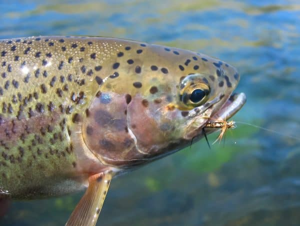 Trout with Fly